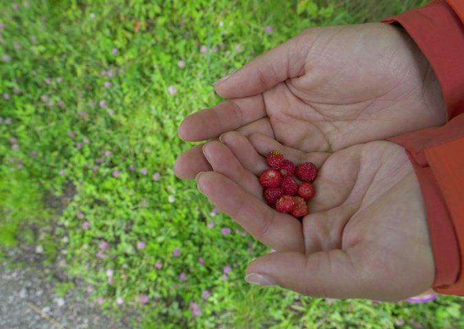 Markjordbær langs Alnaelva