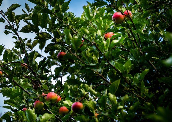 Skøyenparken epletrær